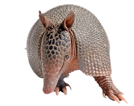 Armadillo Front View transparent PNG.