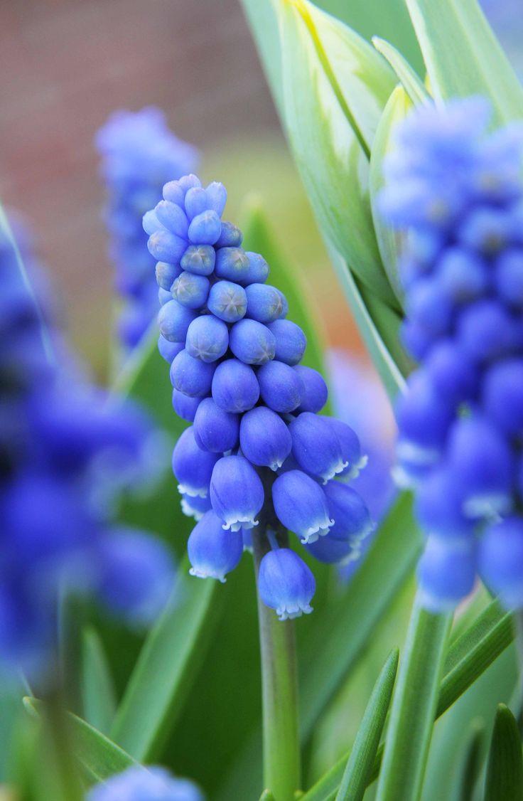 1000+ ideas about Grape Hyacinth Wedding Flower Photos on Pinterest.