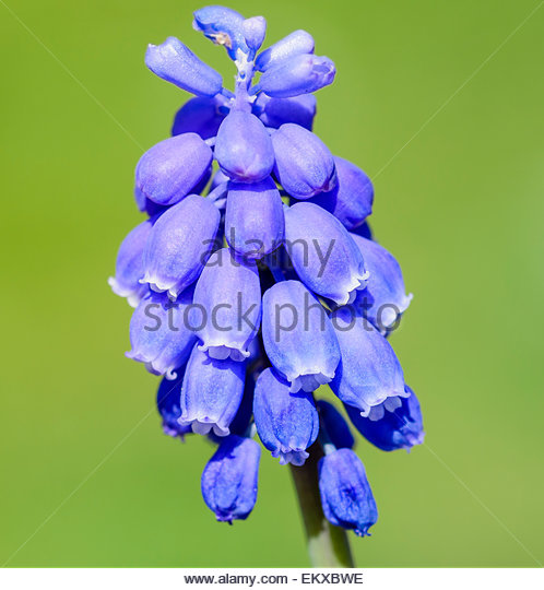 Grape Hyacinths Muscari Armeniacum Stock Photos & Grape Hyacinths.