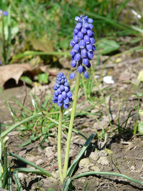 Free pictures MUSCARI.