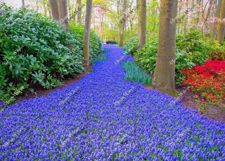 1000+ ideas about Grape Hyacinth Flower Photos on Pinterest.