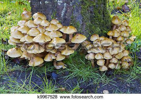 Pictures of honey fungus (Armillaria mellea) k9967528.