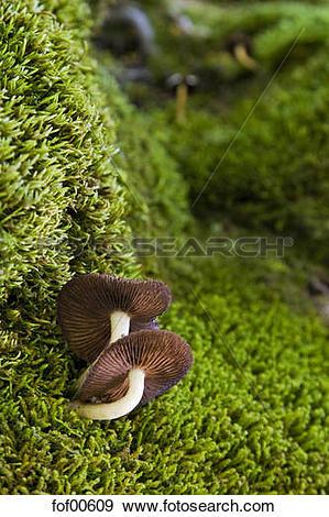 Stock Photograph of Austria, Tirol, Karwendel, Honey Mushrooms.