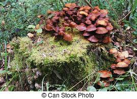Stock Photographs of Honey fungus (Armillaria mellea) mushroom in.