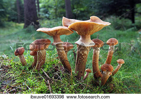 "Pictures of ""Mushrooms, honey fungus (Armillaria mellea) growing."