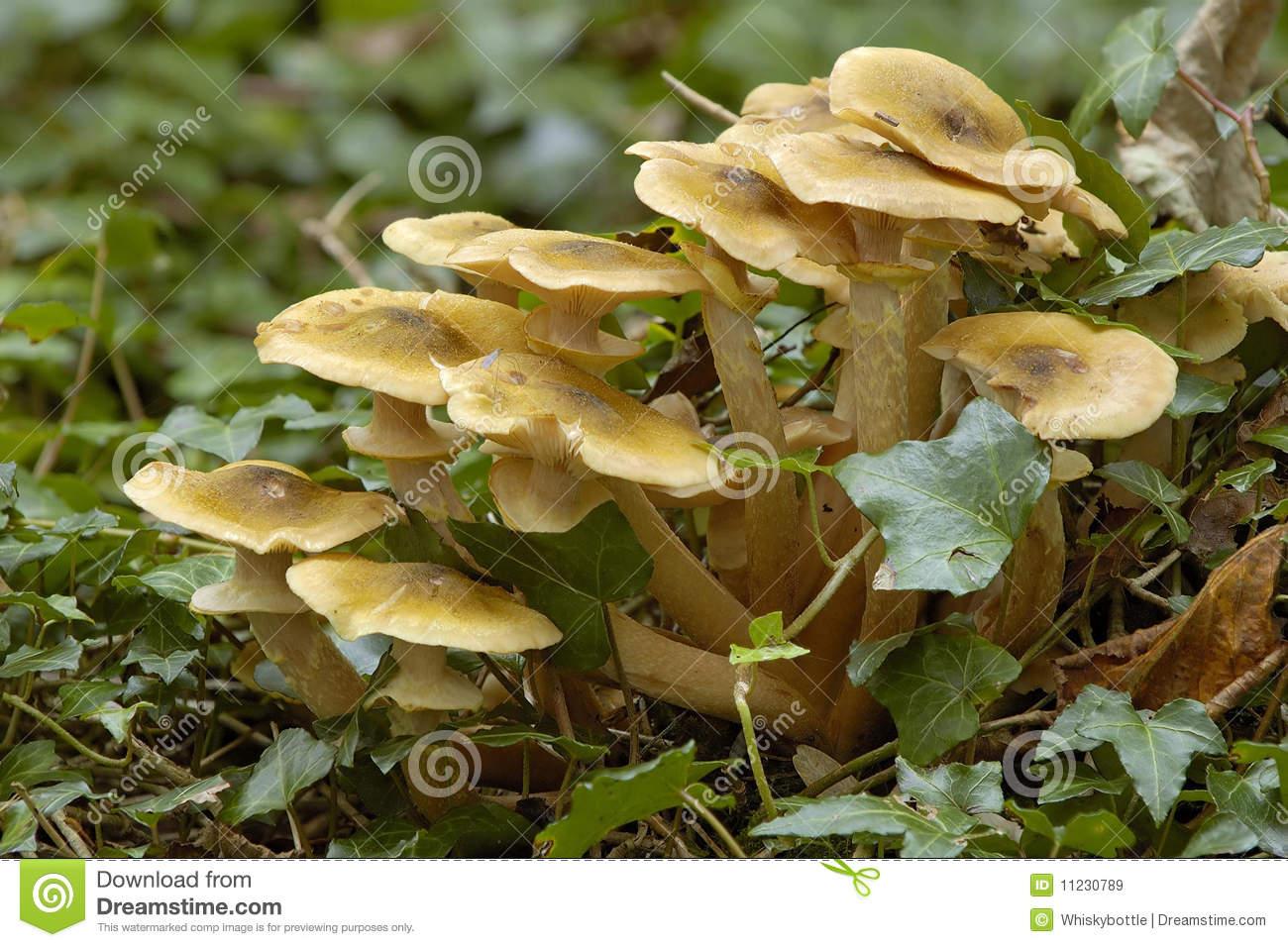 Mushroom Armillaria Mellea Or Honey.