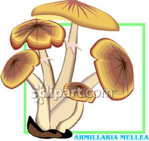 Armillaria_Mellea_Mushrooms_Royalty_Free_Clipart_Picture_081219.