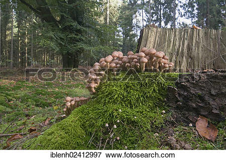Picture of Honey Fungus (Armillaria solidipes), Tinner Loh, Haren.
