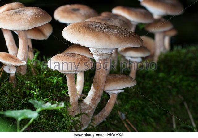 Honey Mushroom Stock Photos & Honey Mushroom Stock Images.