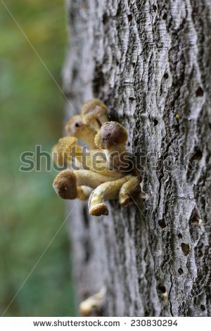 Armillaria solidipes Stock Photos, Images, & Pictures.