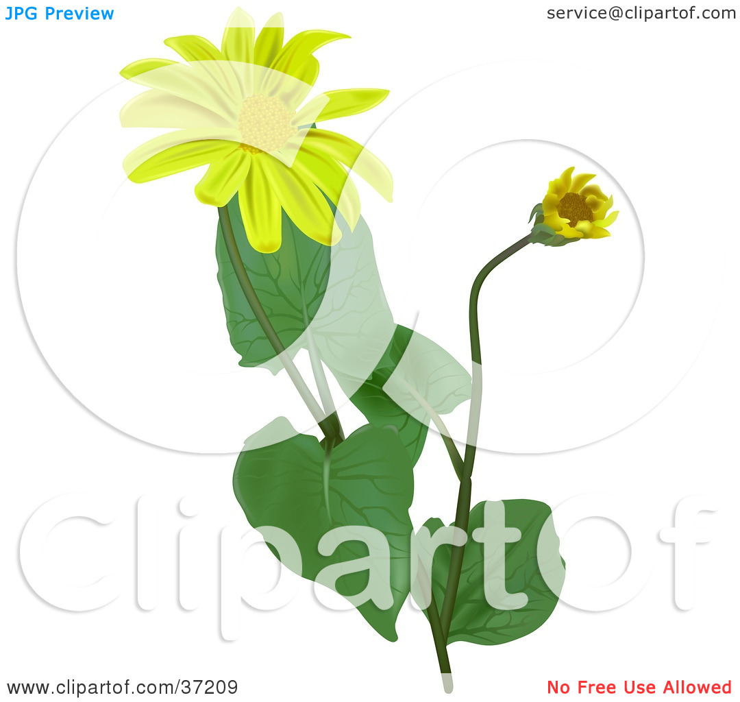 Clipart Illustration of Blooming Leopard's Bane, Wolf's Bane.