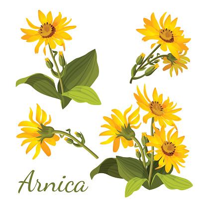 Arnica Clip Art, Vector Images & Illustrations.