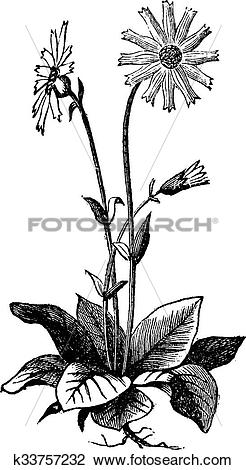 Clipart of Arnica montana flower, aslo known as wolf's bane.