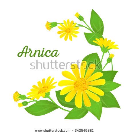 Arnica Stock Photos, Royalty.