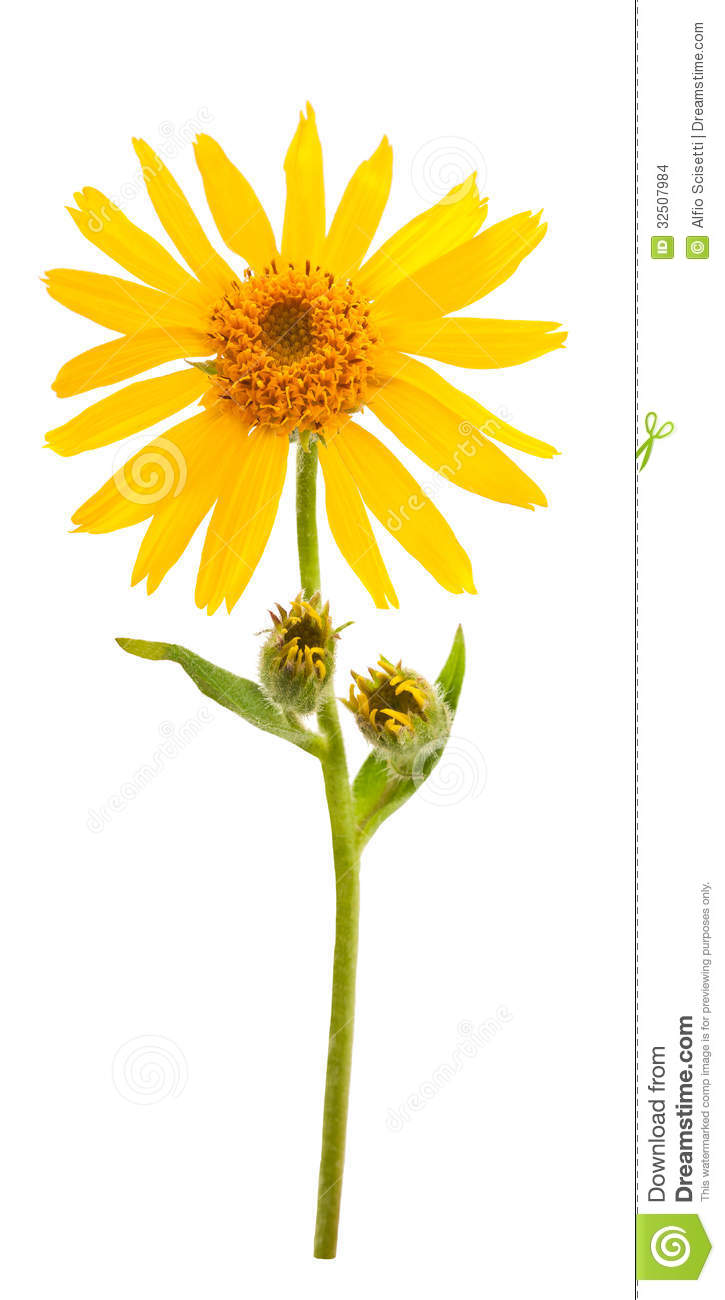 Arnica Flower Clip Art.