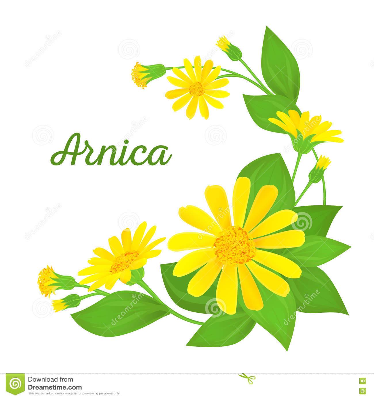 Arnica Stock Illustrations.