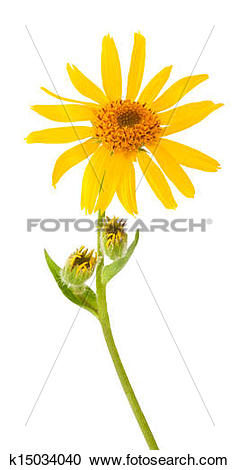 Stock Photography of Arnica Montana k15034040.