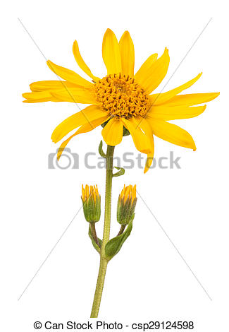 Stock Photographs of Arnica montana isolated on white background.