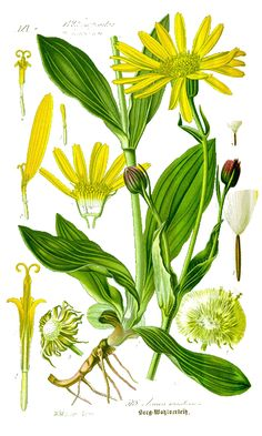 Arnica montana, Montana and Lifestyle on Pinterest.