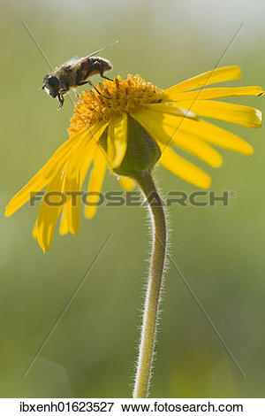 "Picture of ""Hoverfly on Wolf's bane, Mountain arnica (Arnica."