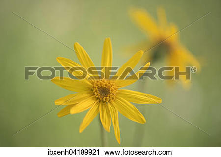 Stock Photography of Mountain Arnica (Arnica montana), Vosges.
