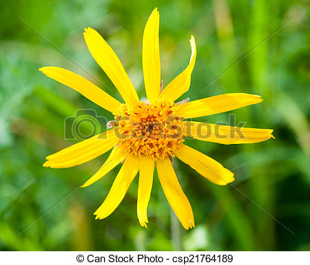 Pictures of Arnica montana, yellow mountain flower csp21764189.
