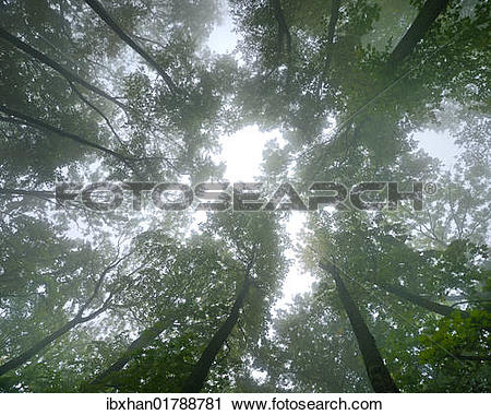 "Stock Photography of ""Beech forest in fog, bottom view, Arnstein."