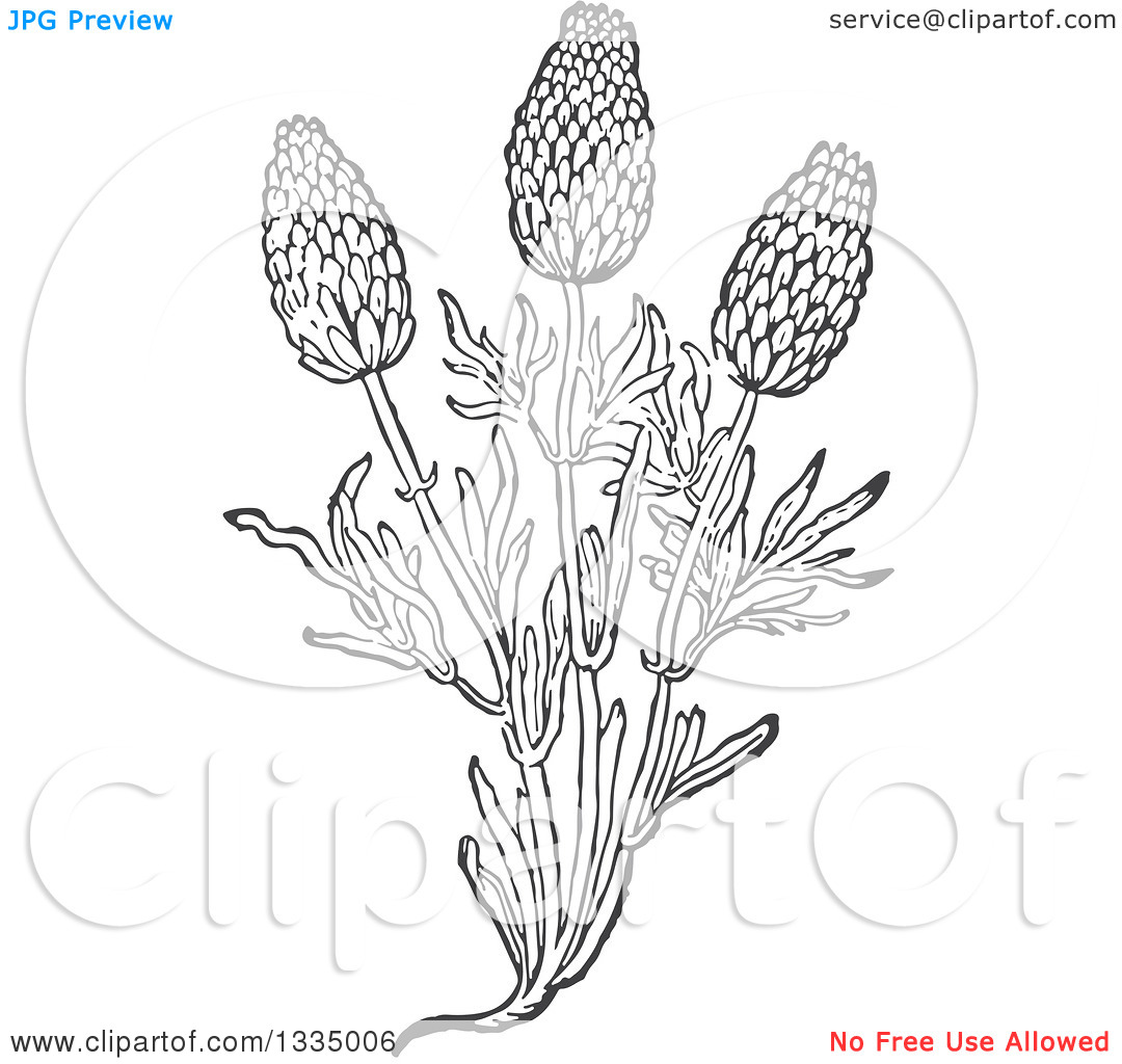 Clipart of a Black and White Woodcut Aromatic Herbal Lavender.