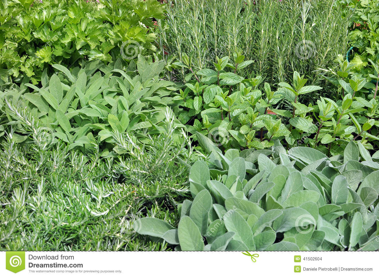 Aromatic Plants Stock Photo.