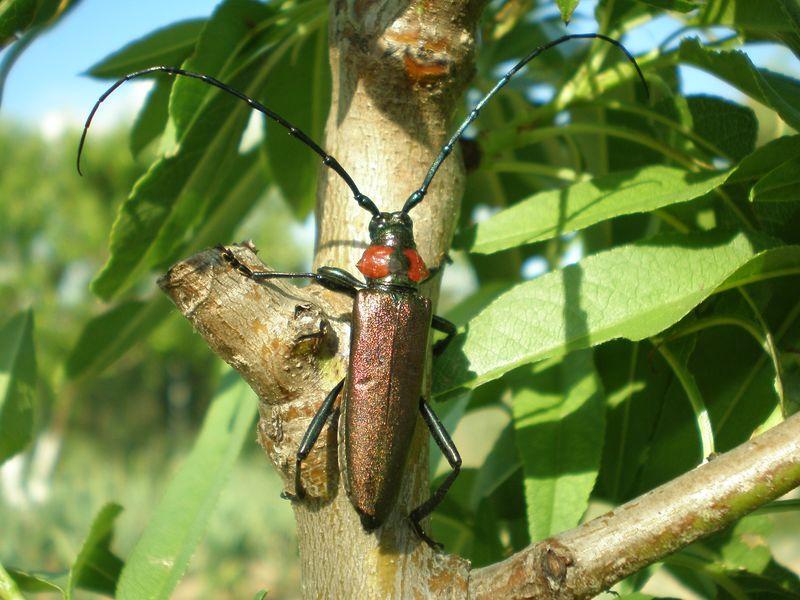 File:Aromia moschata ssp. ambrosiaca.jpg.
