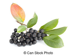 Aronia berry Stock Photos and Images. 689 Aronia berry pictures.