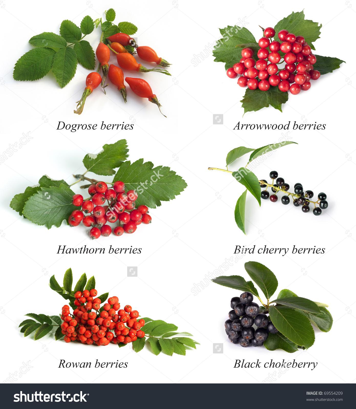 Set Berries Dogrose Rosa Canina Rosehip Stock Photo 69554209.