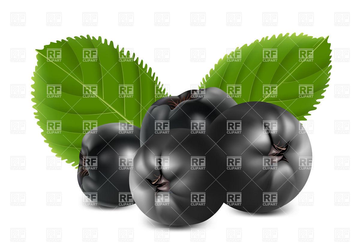 Aronia berries (chokeberry) Vector Image #5018.