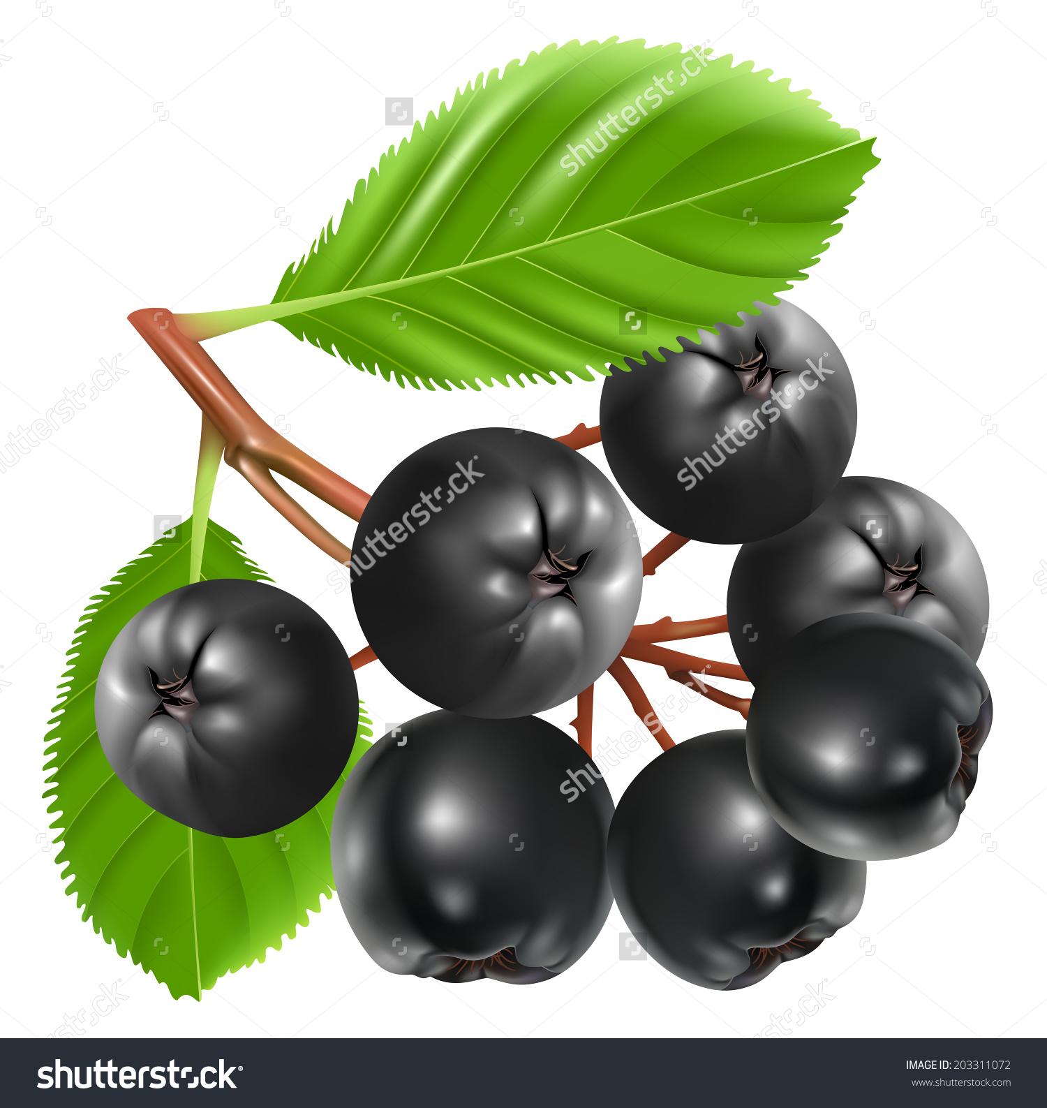 Aronia Berries Chokeberry Vector Illustration Stock Vector.