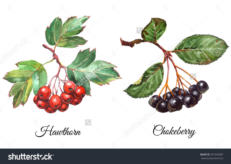 Set Watercolor Realistic Paintings Aronia Berries Stock.