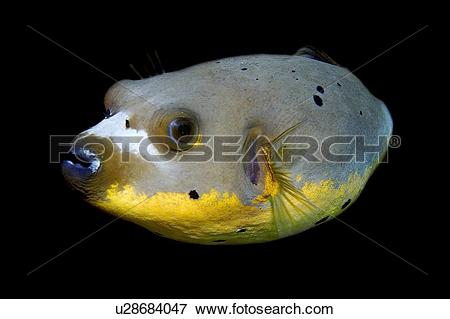 Picture of Blackspotted puffer fish, Arothron nigropunctatus.