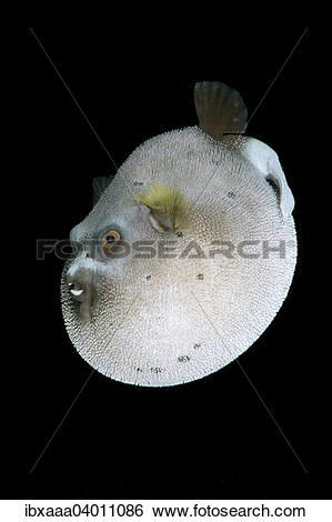 "Stock Images of ""Blackspotted puffer (Arothron nigropunctatus."