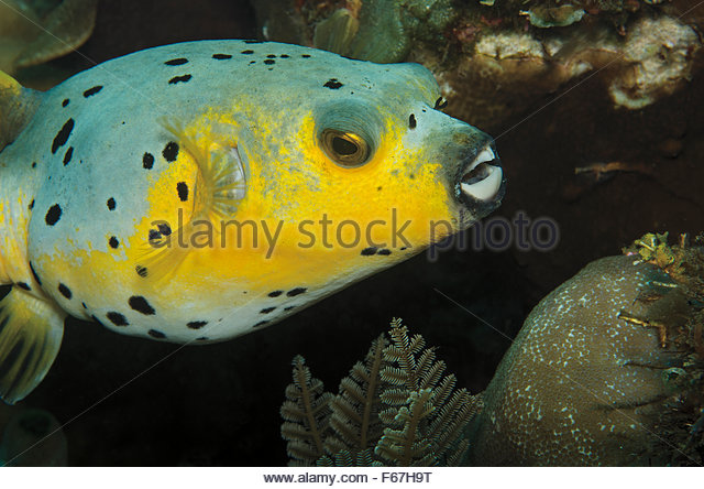 Bubblefish Stock Photos & Bubblefish Stock Images.