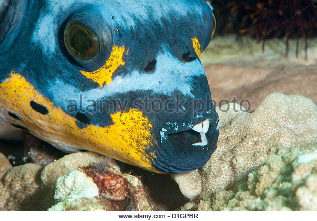 Spotted Fish Stock Photos & Spotted Fish Stock Images.