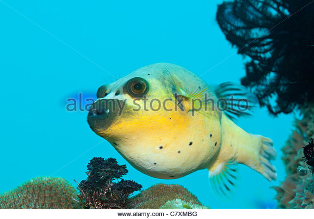 Tetrodotoxin Stock Photos & Tetrodotoxin Stock Images.