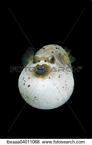 Pictures of Blackspotted Puffer or Dog.