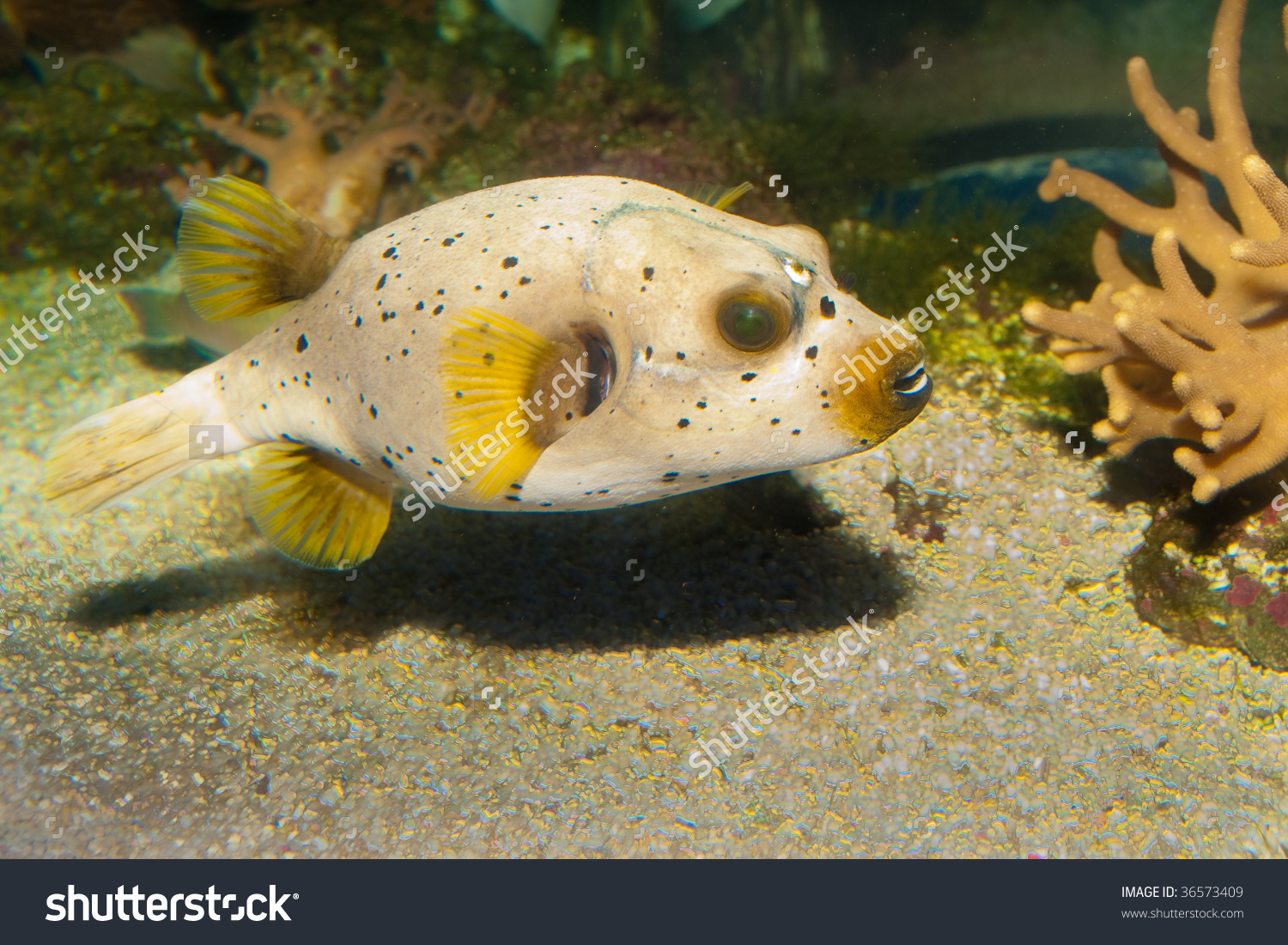 Black Spotted Dog Faced Puffer Fish Stock Photo 36573409.