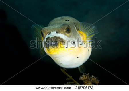 Arothron Nigropunctatus Stock Photos, Royalty.