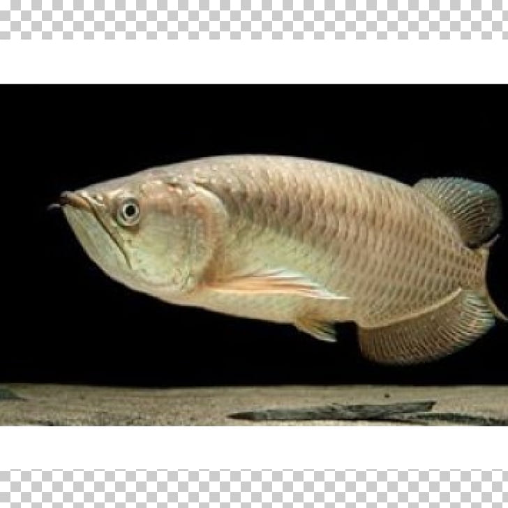 Siamese fighting fish Tilapia Gulf saratoga Asian arowana.