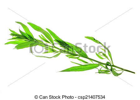Stock Photos of Tarragon (Artemisia dracunculus).