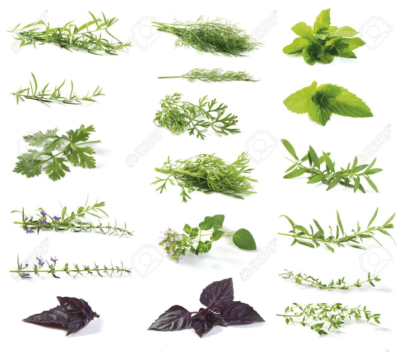 Various Fresh Herbs Isolated On White Tarragon Artemisia.