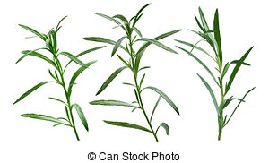 Stock Images of Tarragon (Artemisia dracunculus).