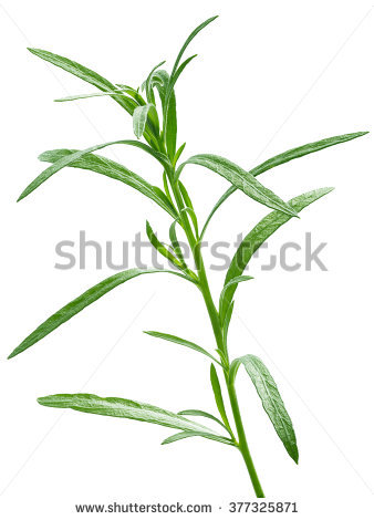 Artemisia Stock Photos, Royalty.