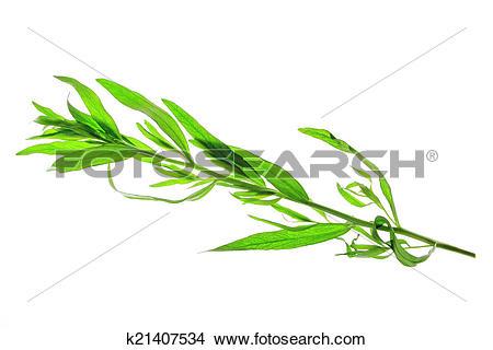 Stock Photo of Tarragon (Artemisia dracunculus) k21407534.