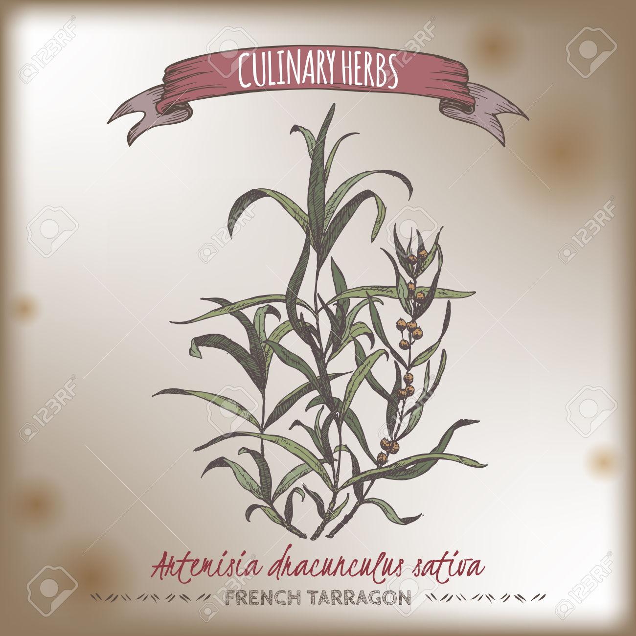 Artemisia Dracunculus Sativa Aka French Tarragon Color Vector.